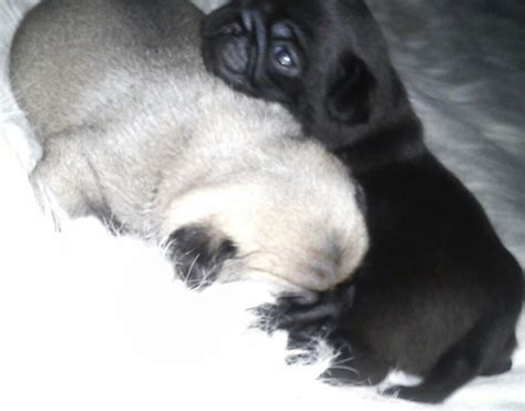 pugs 100 years ago 100 pug puppies and fawns available caerphilly caerphilly pets4homes
