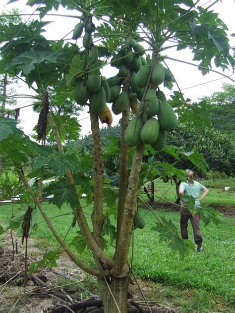 forum paw paw trees - Paw Paw Fruit Tree