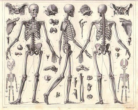 Drawing Anatomy by May 2014 Human Anatomy Skeleton In India