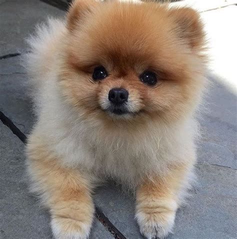 what does a pomeranian puppy look like best 25 pomeranian puppy ideas on pomeranian teacup pomeranian and