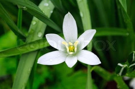 delicate white ornithogalum grass lily on flower bed in