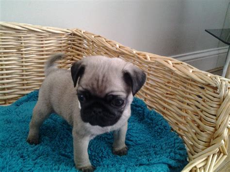 kennel club pug breeders kennel club registered pug puppies stoke on trent staffordshire pets4homes