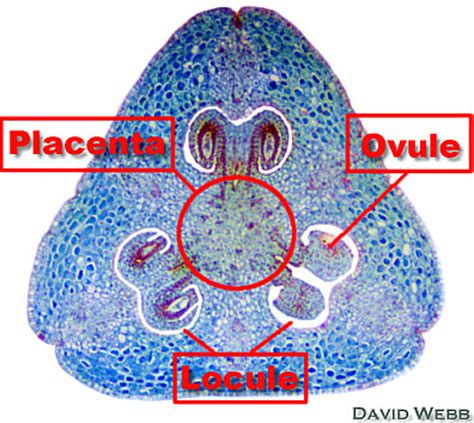flower ovary cross section lily ovary cross section labeled www pixshark com