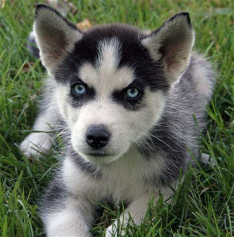 cheap siberian husky puppies blade the siberian husky puppies daily puppy