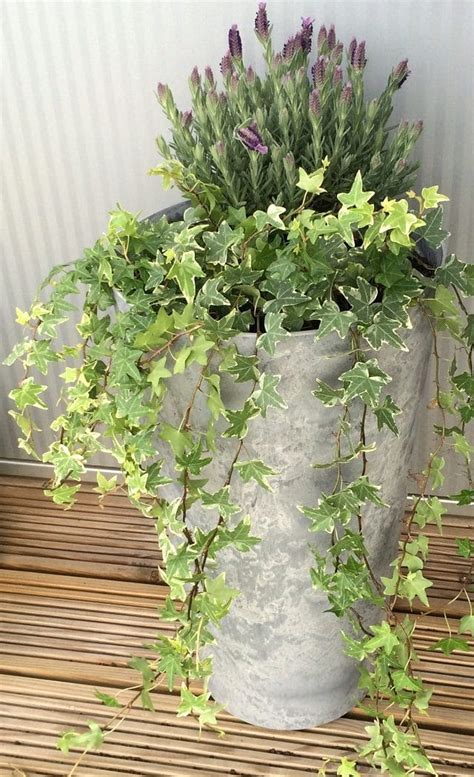 vines  containers climbing plants  pots