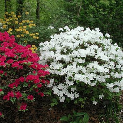 japanese flowering shrubs 1 x white azalea japanese evergreen shrub hardy garden