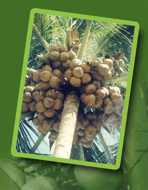memahami tata cara berkebun budidaya kelapa