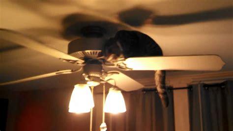 Cat In Ceiling Fan by Bengal Cat Taking A Ride On Ceiling Fan