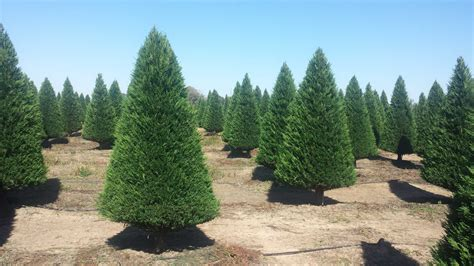 28 best christmas tree farm near houston christmas