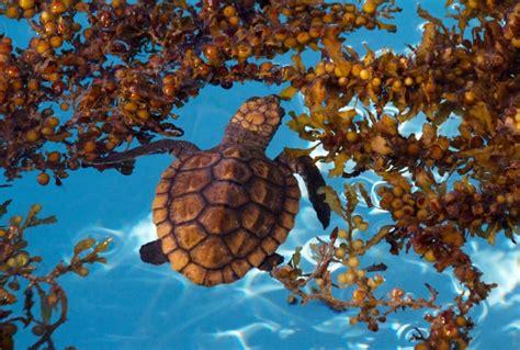 tartarughe marine alimentazione le sette specie di tartaruga marina tartapedia