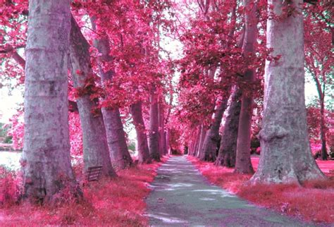 pink color images pink trees wallpaper and background