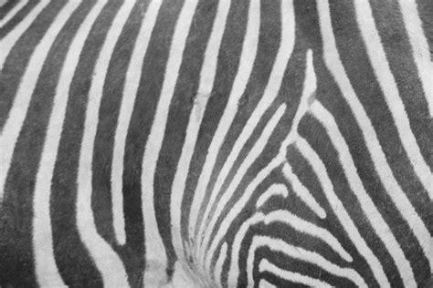zebra pattern camera zebra pattern flickr photo sharing