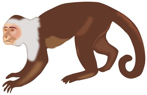 Clipart - White-faced Capuchin Monkey
