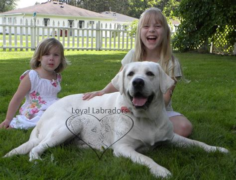 lab puppies for sale in california quelques liens utiles