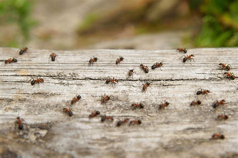 ants in backyard how to get rid of ants in your lawn ritter lumber