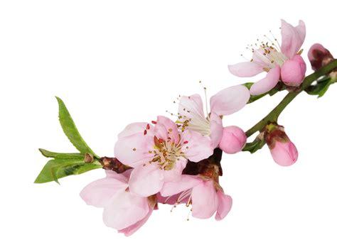 fiori di bach cherry plum i fiori di bach