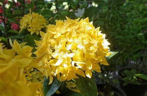 Bunga Jarum blooming yellow ixora flower in the garden in thailand stock photo image of burning bunga