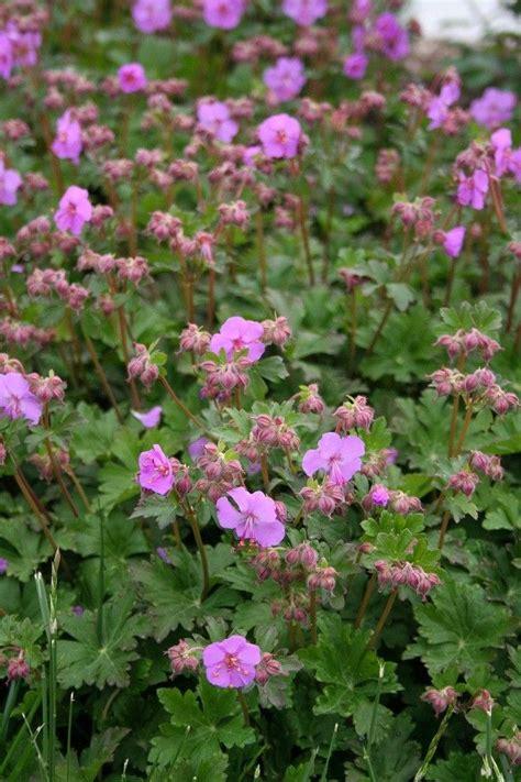 fall flowering perennials fall perennials greenway 20 best images about fall blooming perennials on pinterest