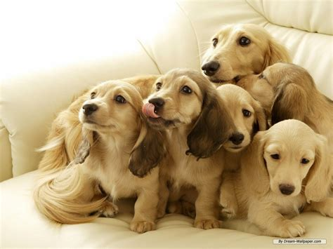 miniature puppies mini dachshund wallpaper dogs wallpaper 7014533 fanpop