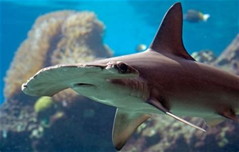 baby shark real drum 80 interesting facts about sharks factretriever com