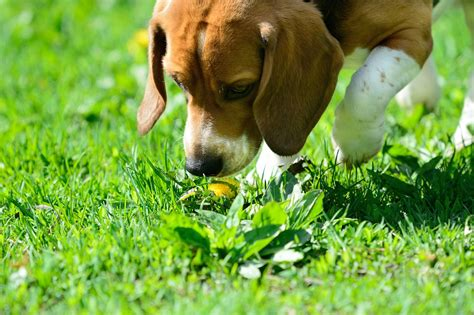 easiest small dog to house train potty training a beagle best way and owner advices