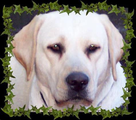 labrador puppies florida tarrah labrador retrievers orlando breeder lab puppies