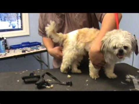 how to take care of 2 months shih tzu 8 tips to take care of your senior shih tzu page 3 of 4 shih tzu buzz