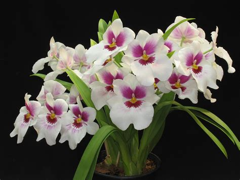 imagenes hermosas de orquideas tipos de orqu 237 deas lindas nomes e fotos decorando casas
