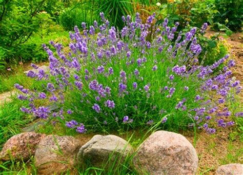 drought hardy plants for the tulsa area zone 7 lawn care