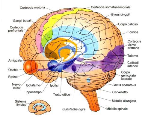 test sistema nervoso test emisferi cerebrali