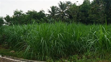 Tempat Pakan Ternak Sapi rumput gajah sebagai pakan ternak peternakankita