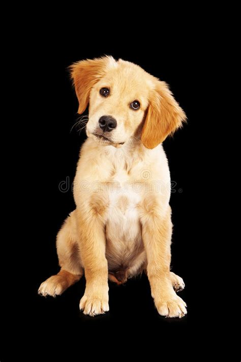 black and white golden retriever pictures golden retriever pet sitting isolated on white