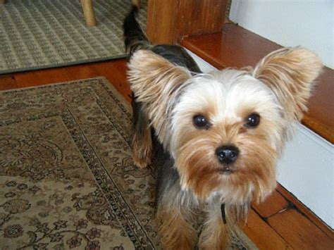 crate for yorkie yorkie goes missing at jfk owner enlists psychics to help ny daily news