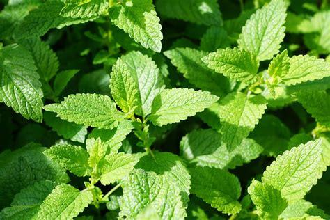 Pflanzen Kaufen by Minze Samen Marokkanische Kaufen Ab 1 19 Versand