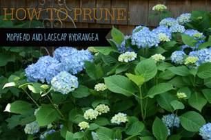 how to prune hydrangeas video tutorial north coast gardening