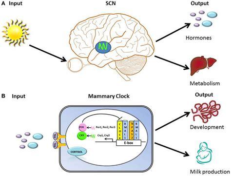 alimenti progesterone hallmarks of organization of clocks and circadian timing