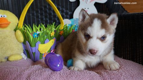 s puppies rylee s easter husky puppy pics siberian husky puppies for sale