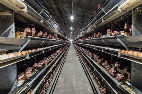 allevamento galline in gabbia conad e eurospin stop alle uova da galline in gabbia