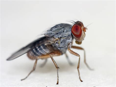 fruit flies your attracts fruit flies on purpose wired