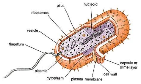 bacterial cell diagram labeled hics 10th grade