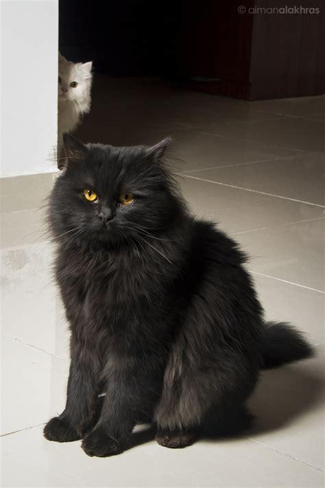 Black and white Persian cats by jordansart on DeviantArt