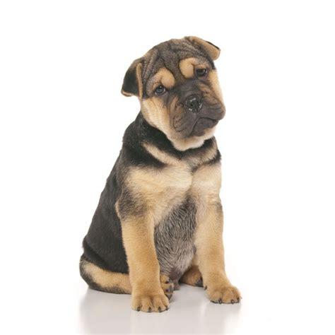 ori pei puppies for sale ori pei breeds picture