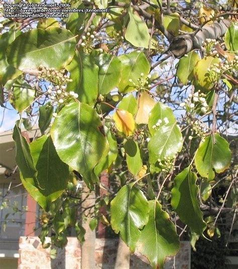 non fruiting plum tree plantfiles pictures plum american plum goose plum