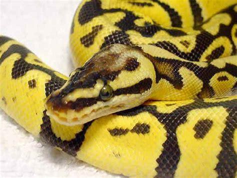 imágenes de serpientes negras serpientes taringa