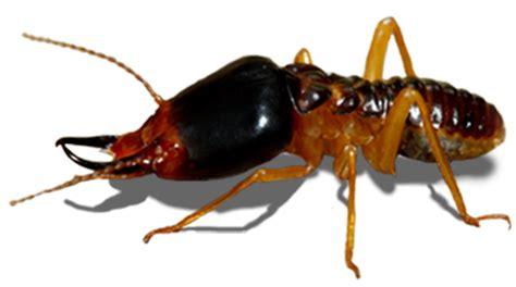 termite control panic pest control