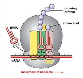 protein 7 synthesis buy 17 best images about dna transcription and translation on