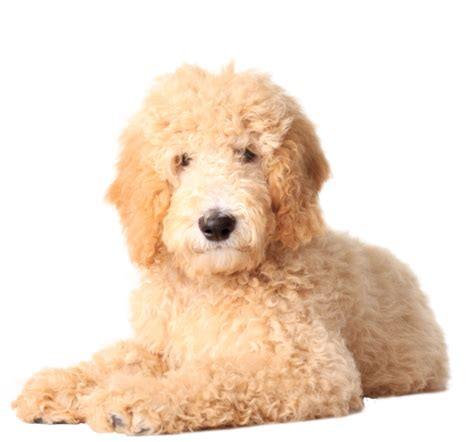 doodle pictures free puppy golden doodle nail decals now 50 more