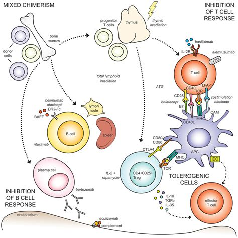 frontiers tolerogenic dendritic cells for frontiers tolerogenic therapies in transplantation