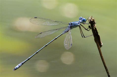 lestes forficula renouveau guyane le monde des insectes