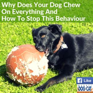 why do puppies chew pet management